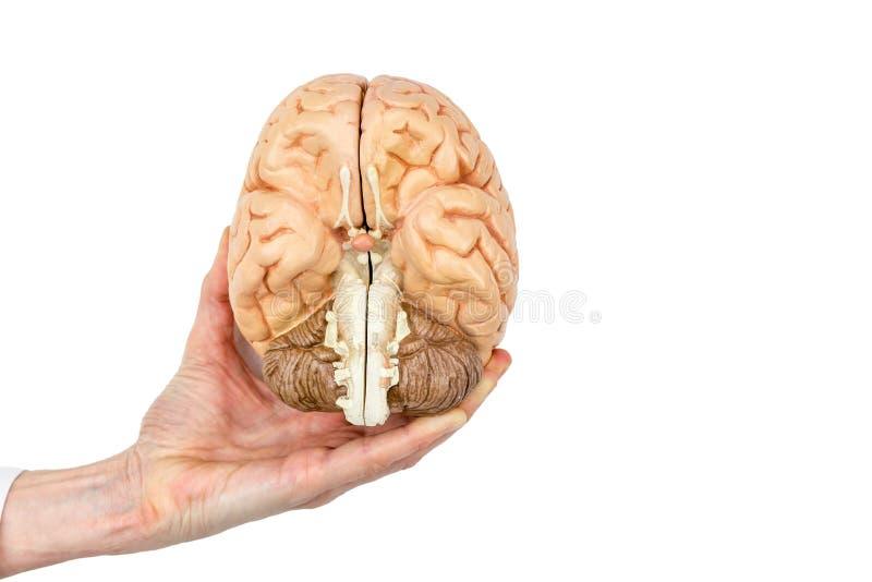 De hand houdt model menselijke hersenen op witte achtergrond stock foto's