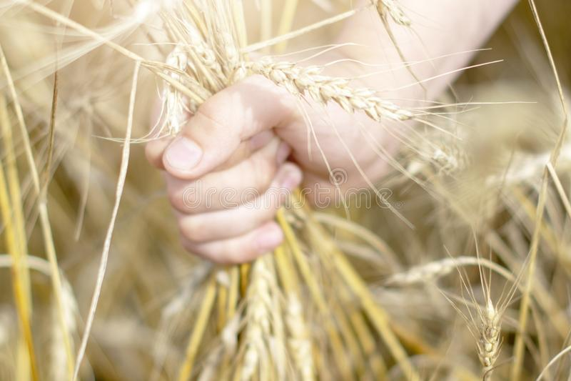 De hand houdt de tarwe op het korrelgebied - het concept land, aard en gezonde natuurvoeding stock afbeelding