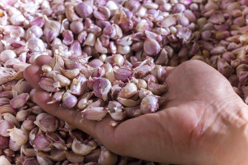 De hand kiest Greep, plukt, selecteert, oogst Knoflook van Mand Vers Knoflook aan kok stock foto