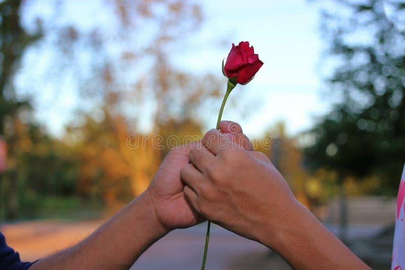 De hand ` s van de mens geeft een rood toenam tot een vrouw bij speciale gelegenheid op aard vage achtergrond Het romantische min stock afbeeldingen
