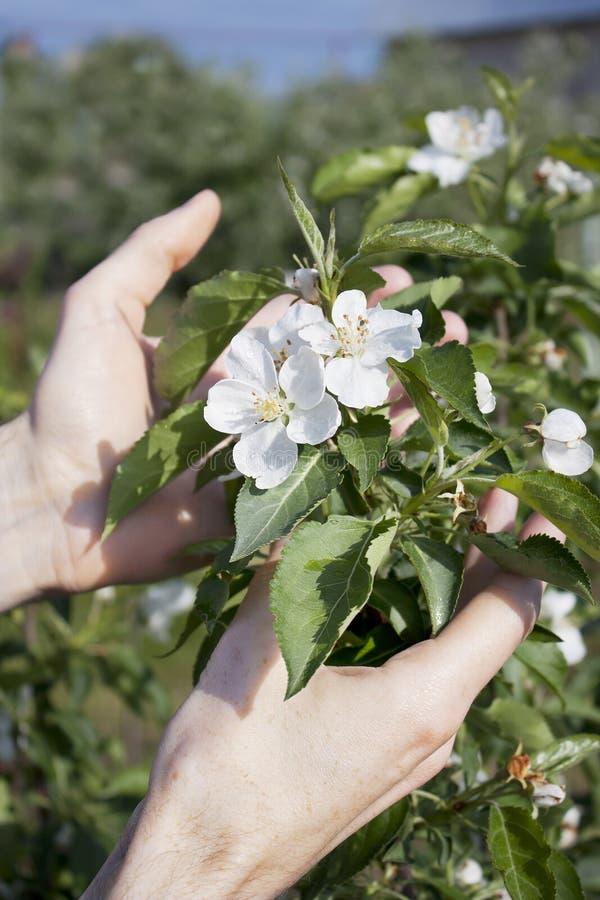 De hand van de tuinman en bloeiende zuilvormige appelboom stock afbeelding