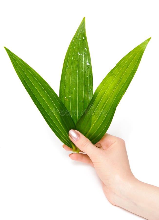 De hand van de vrouw met groene bladeren royalty-vrije stock foto