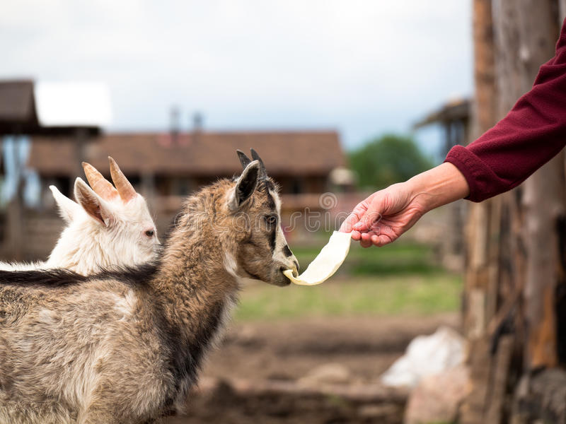 De hand van een jonge vrouw die een koolblad houden dat jonge geit eet royalty-vrije stock afbeeldingen