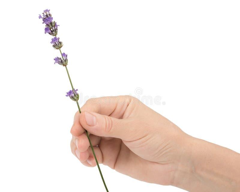 De hand van een vrouw houdt een bloem van lavendel, op witte achtergrond wordt geïsoleerd die royalty-vrije stock fotografie