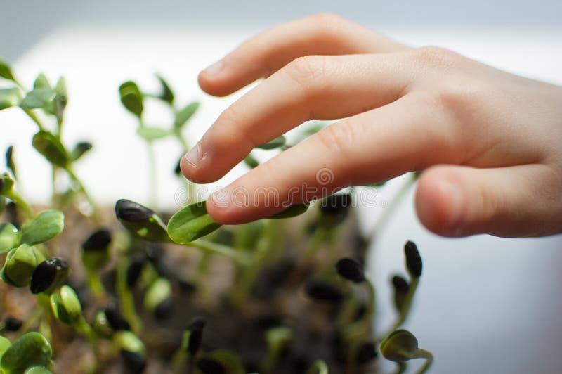 De hand van het jonge geitje raakt verse en ruwe spruiten van zonnebloem Gezond voedselconcept, microgreens thuis bewerkend Kinde stock afbeelding
