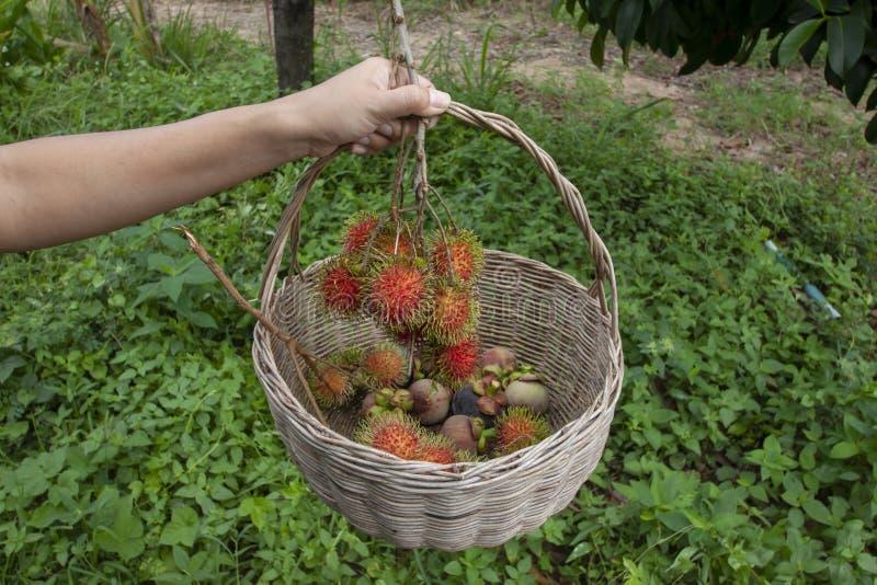 De hand van landbouwkundige houdt de mand voor geoogste rijpe rambutan en mangoteen vruchten op de boom stock foto's