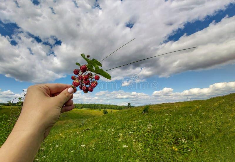 De hand van de vrouw houdt een boeket van rode wilde aardbeien, dat in de ravijnen van Rusland, tegen de bewolkte hemel groeit royalty-vrije stock afbeeldingen
