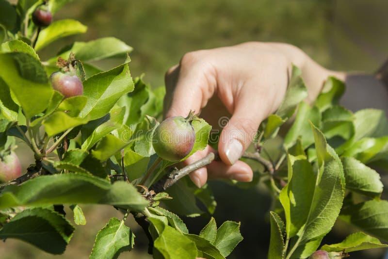 De hand van de vrouw houdt jonge een Apple-boom tak met een jong het groeien fruit stock foto's