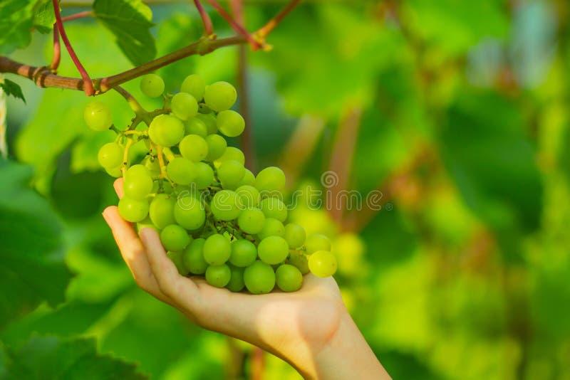 De hand van de vrouw verzamelt groene druiven op de tak royalty-vrije stock afbeeldingen
