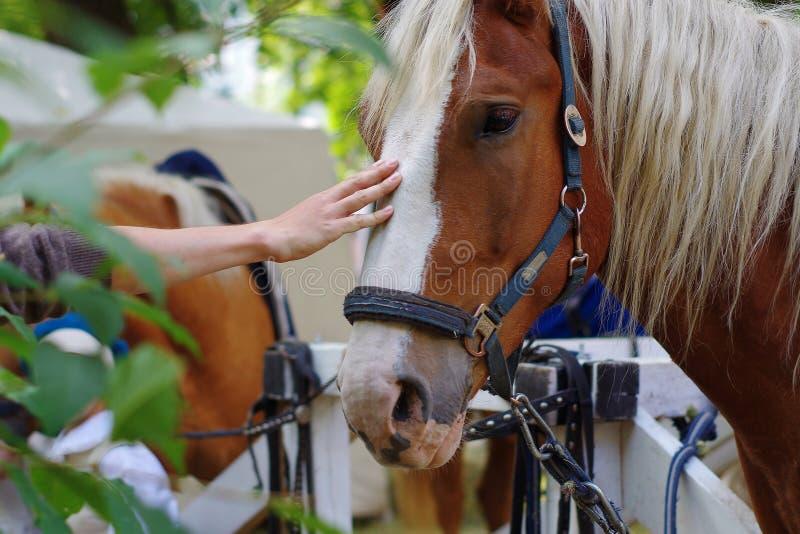 De hand van vrouwen zacht wat betreft paardhoofd Bruin paard met witte streep tussen ogen stock foto