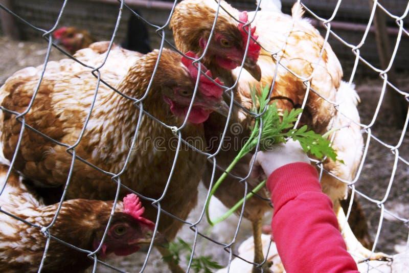 De hand voedende kippen van het zeer weinig 1-2 Éénjarigenkind Vers gras Het geven voor dieren royalty-vrije stock afbeeldingen