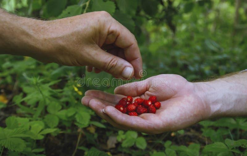 De hand wil sappige rijpe aardbeien nemen royalty-vrije stock afbeelding
