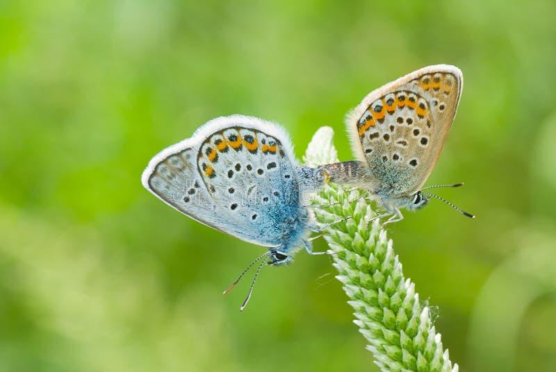 De handeling van de koppeling in familie van Gemeenschappelijke Blauwe vlinder stock foto's