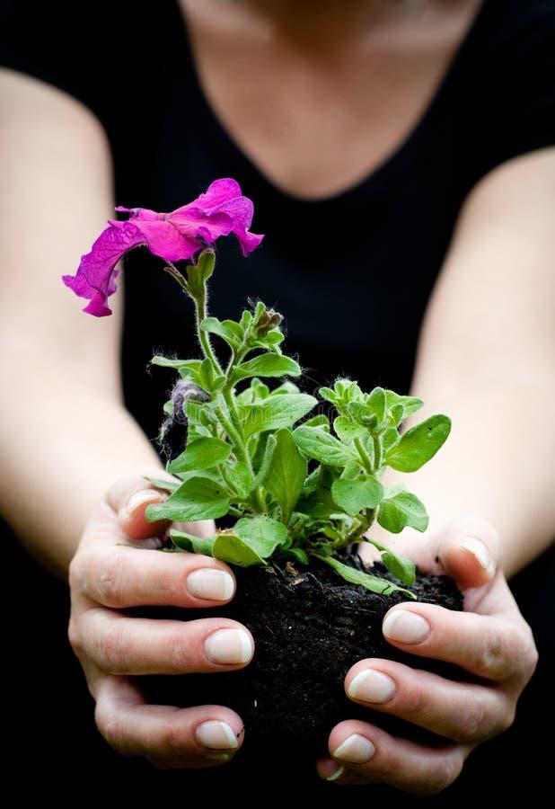 De handen die van de vrouw bloem houden stock fotografie