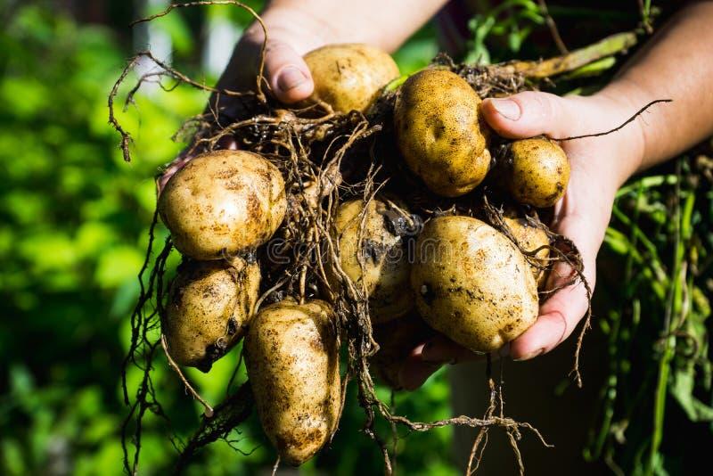 De handen van de landbouwer met verse gravende aardappelplant stock foto