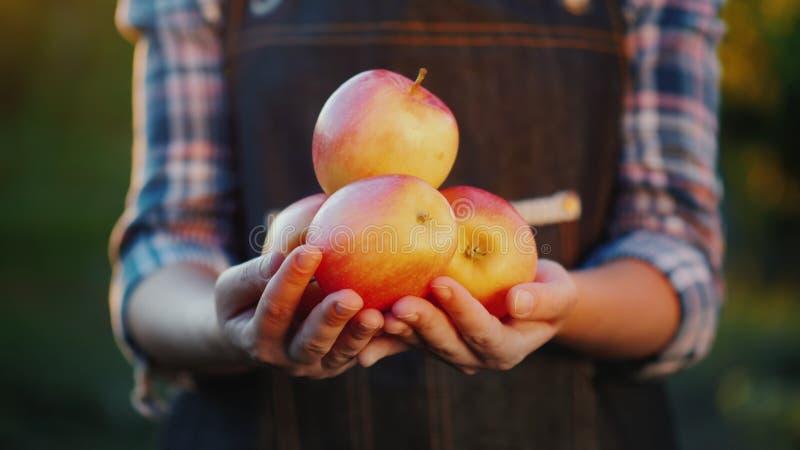 De handen van de landbouwer houden sommige sappige rijpe appelen Fruit van uw tuin stock afbeeldingen