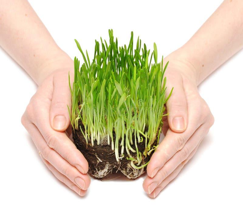 De handen van vrouwen beschermen spruiten groen gras stock fotografie
