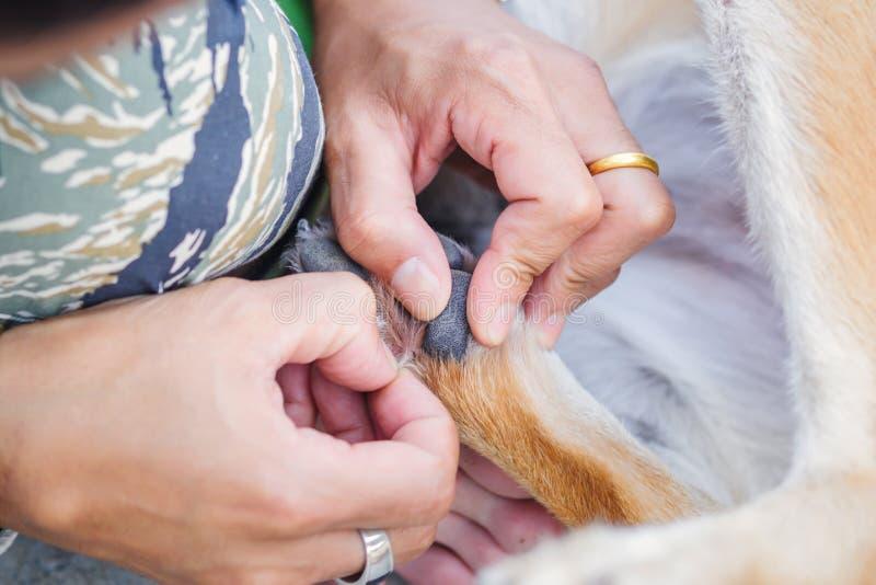 De handenmens vindt vlotik op het haar van de hondhuid en hij draagt ringen royalty-vrije stock foto's