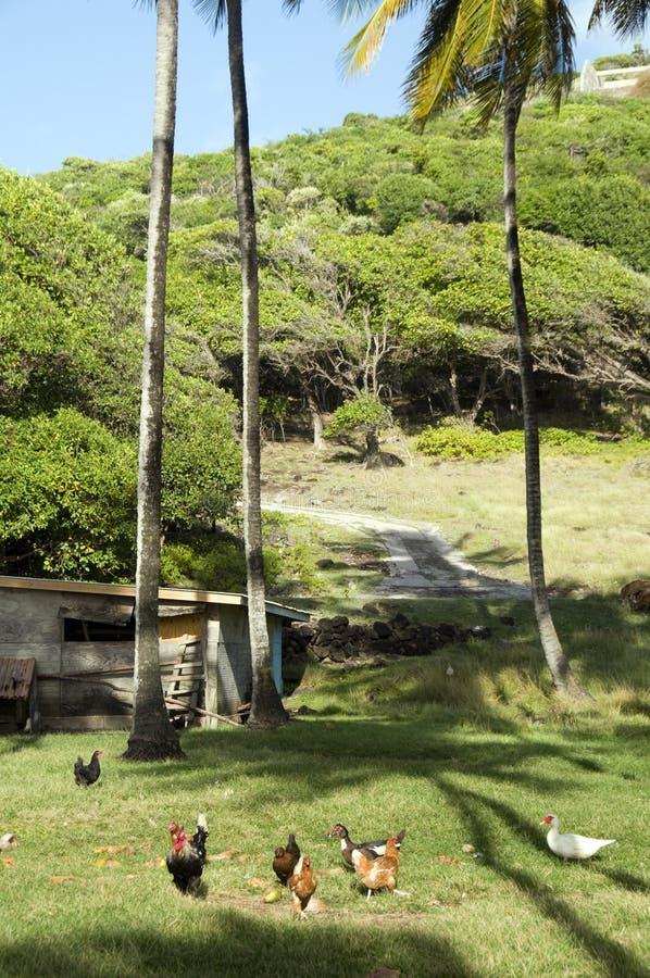 De hanen van de dierenkippen van het landbouwbedrijf in wildernis bequia stock foto