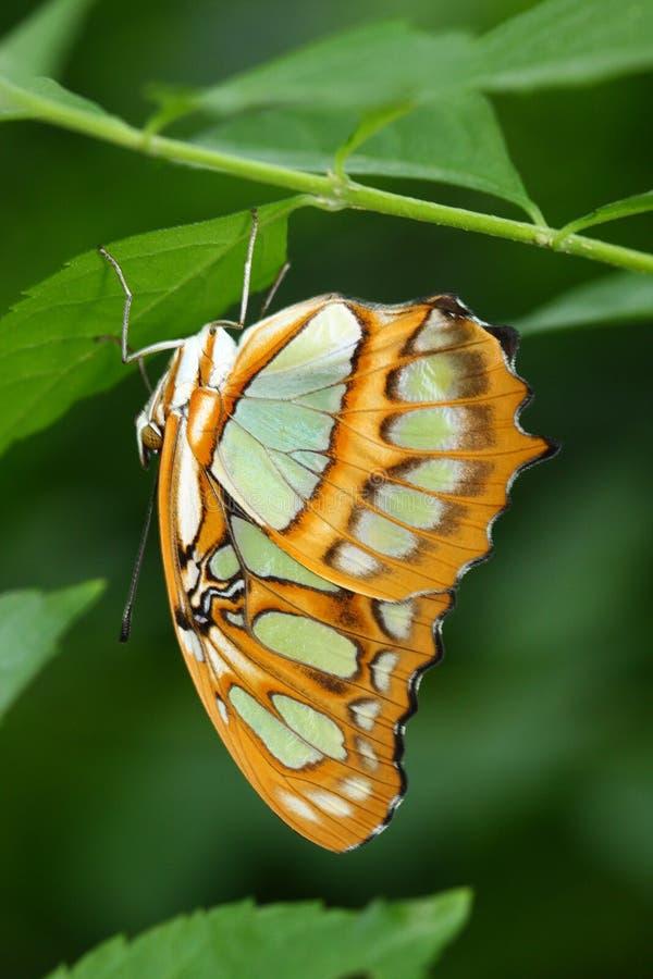 De Hangende bovenkant van de Vlinder van het malachiet - neer op een blad stock fotografie