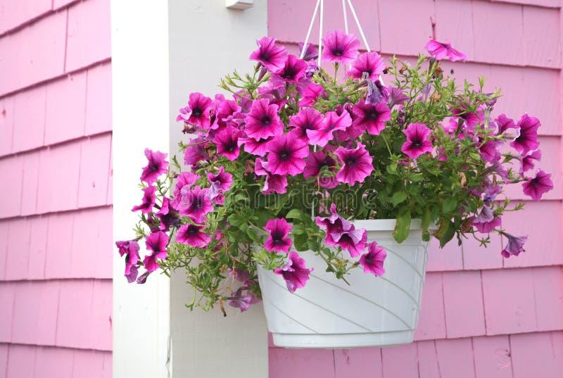 De Hangende Mand van de petunia stock afbeeldingen