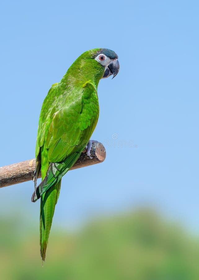De Hanhara of de rood-gesteunde ara, mooie groene vogels streek op de tak neer royalty-vrije stock foto's