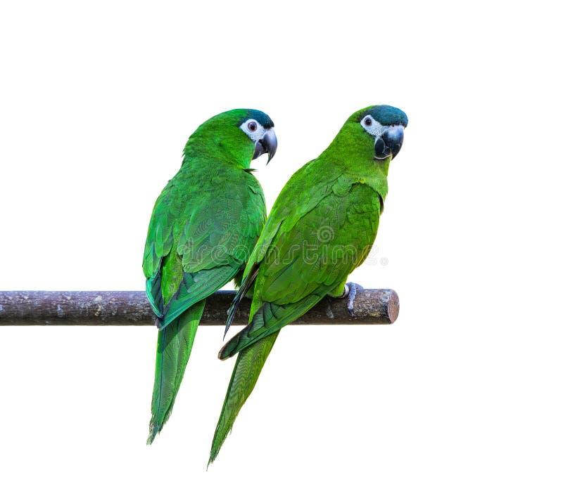 De Hanhara of de rood-gesteunde ara, mooie groene vogels streek op de tak neer stock fotografie