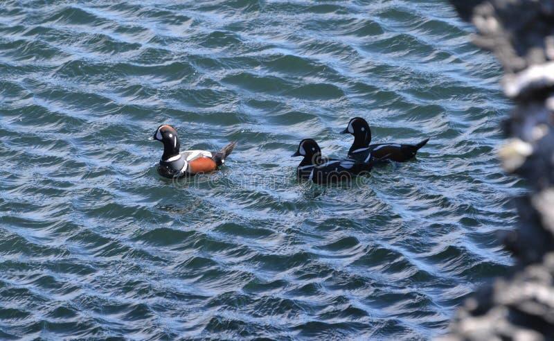 De harlekijnen uit voor zwemmen in oceaan beavertail Jamestown stock foto's