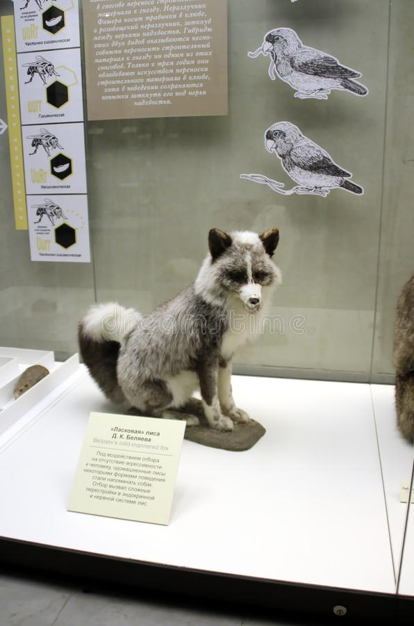 De hartelijke ` vos van ` van Belyaev royalty-vrije stock foto's