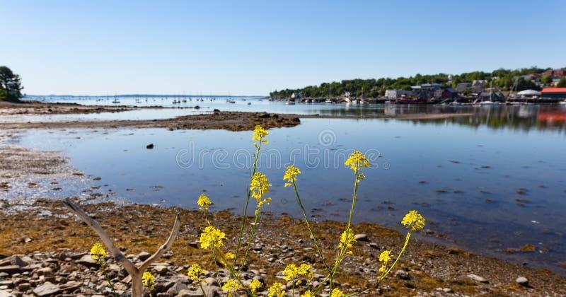De haven van Belfast Maine at low tide op een de zomerdag met verre zeilboten en wildflowers in de voorgrond stock fotografie