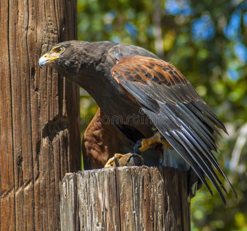 De Havik van Harris, vroeger als de baai-gevleugelde havik of duistere havik wordt bekend, is een roofvogel die royalty-vrije stock foto's