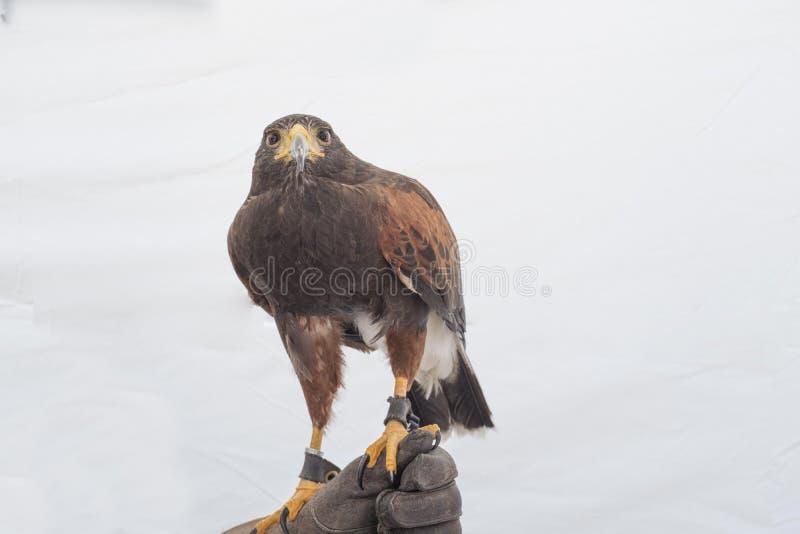 De haviksroofvogel van Harris ` s royalty-vrije stock foto