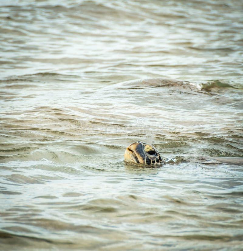 De Hawaiiaanse groene zeeschildpad neemt een adem stock afbeelding