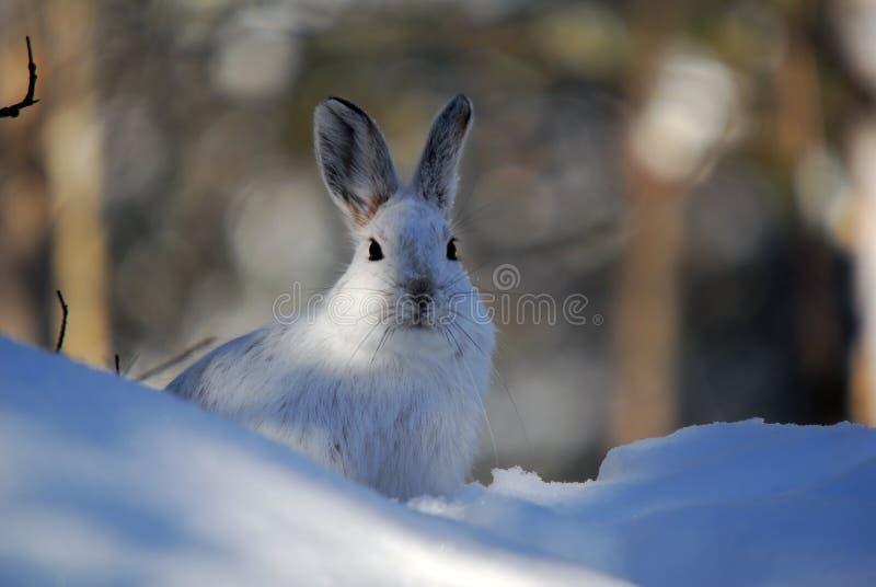 De Hazen van de sneeuwschoen stock afbeeldingen