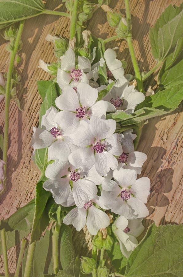 De heemst van Althaeaofficinalis royalty-vrije stock fotografie