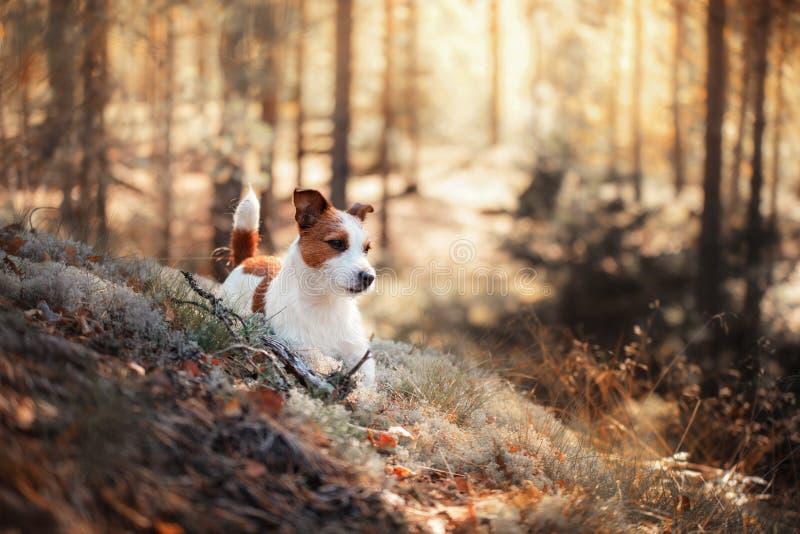 De Hefboom Russel van de hond royalty-vrije stock fotografie