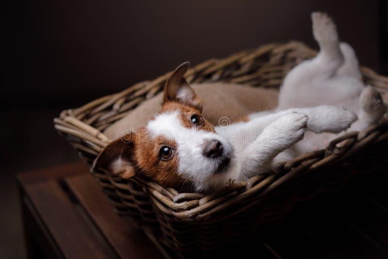 De Hefboom Russel van de hond royalty-vrije stock foto's
