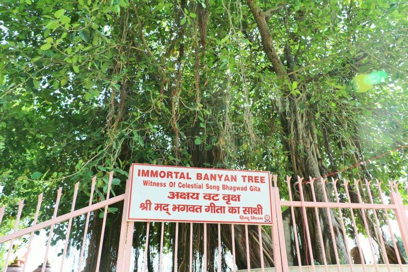 De heilige banyan boom in Jyotisar, Kurukshetra stock foto's