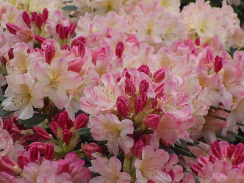 De heldere aantrekkelijke roze Azalea bloeit dicht omhoog en ontluikt stock fotografie