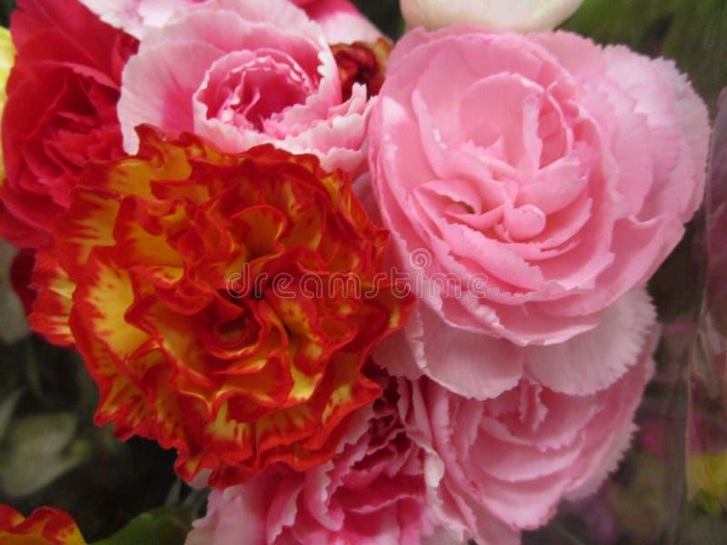 De heldere aantrekkelijke zoete kleurrijke roze Anjer bloeit dicht omhoog het bloeien in de vroege zomer royalty-vrije stock afbeelding