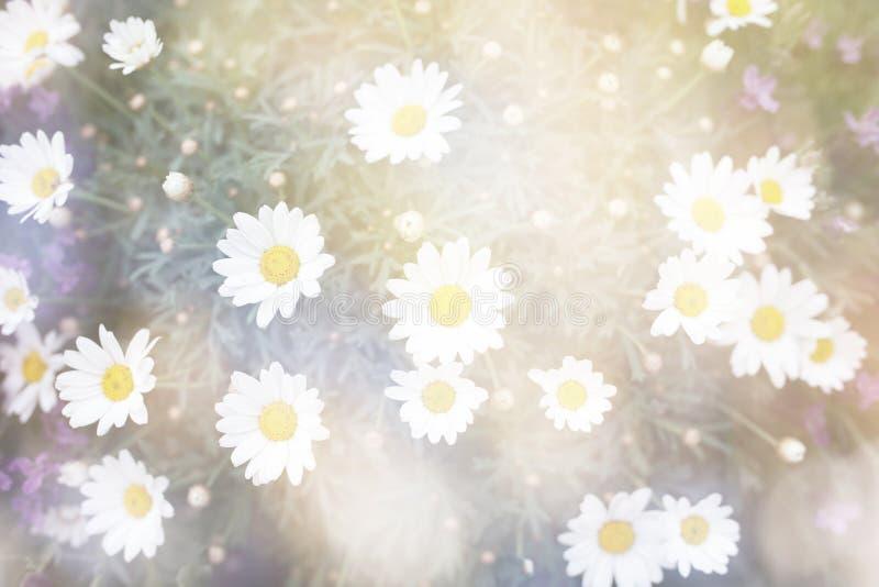 De heldere abstracte bloemen van het bloesemmadeliefje royalty-vrije stock fotografie