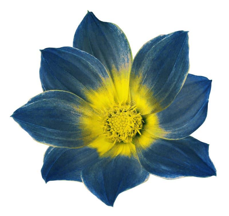 De heldere blauwe bloem van een dahlia op een wit isoleerde achtergrond met het knippen van weg Bloem voor ontwerp, textuur, pren royalty-vrije stock foto