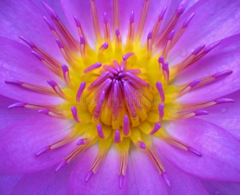 De heldere Bloem van Lotus stock afbeeldingen