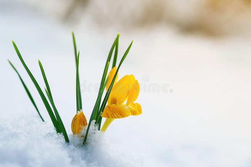 De heldere gele krokussen van sneeuwklokjebloemen maken hun manier op een Sunn stock foto