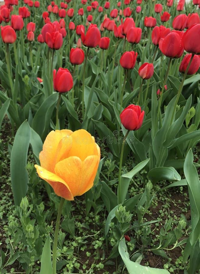 De heldere gele tulp komt duidelijk uit royalty-vrije stock afbeeldingen