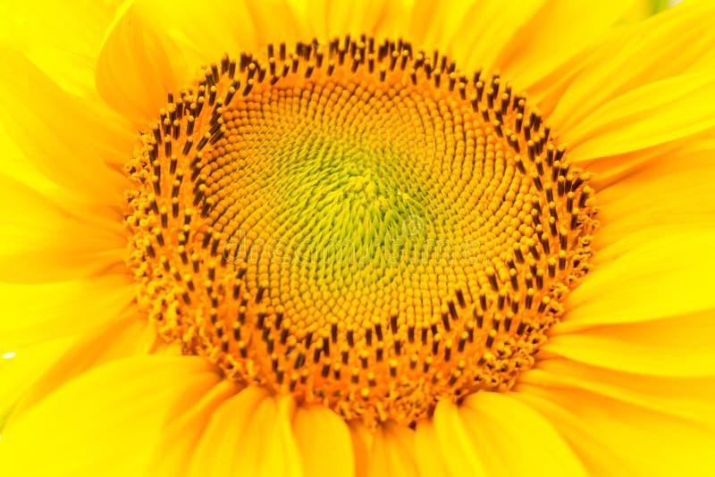 De heldere gele zonnebloemen in volledige bloei in tuin voor olie verbetert huidgezondheid en bevorderen celregeneratie royalty-vrije stock foto's