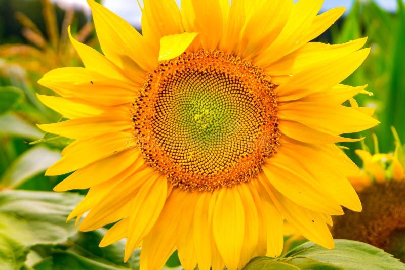 De heldere gele zonnebloemen in volledige bloei in tuin voor olie verbetert huidgezondheid en bevorderen celregeneratie stock foto's