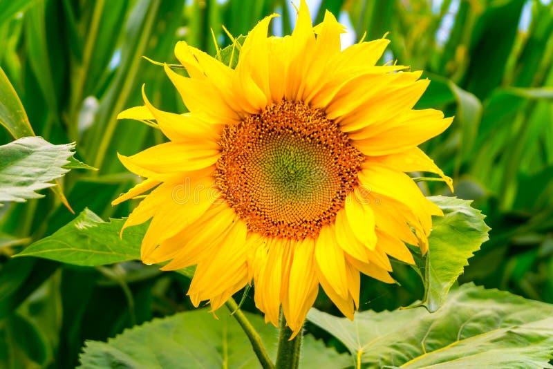 De heldere gele zonnebloemen in volledige bloei in tuin voor olie verbetert huidgezondheid en bevorderen celregeneratie royalty-vrije stock foto