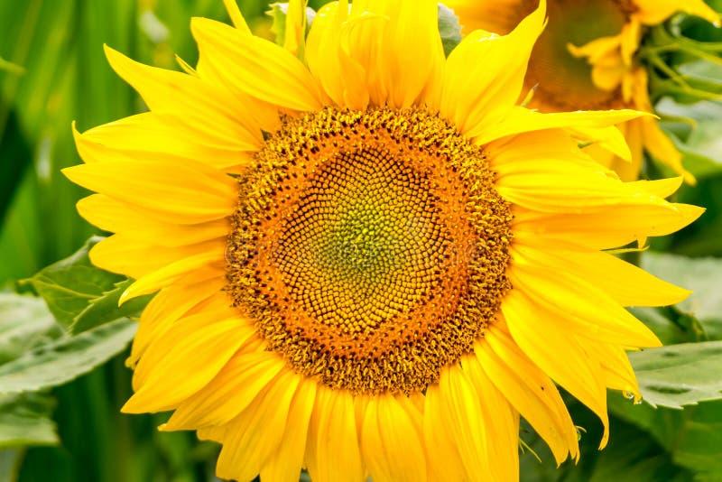 De heldere gele zonnebloemen in volledige bloei in tuin voor olie verbetert huidgezondheid en bevorderen celregeneratie royalty-vrije stock fotografie