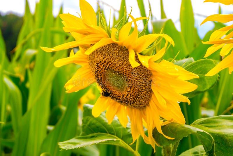 De heldere gele zonnebloemen in volledige bloei in tuin voor olie verbetert huidgezondheid en bevorderen celregeneratie stock afbeeldingen